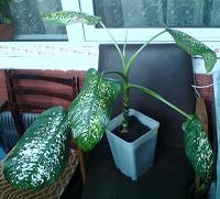 Отдается в дар Гигантик диффенбахии — ложная пальма