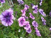 Отдается в дар Семена петунии, сорт «Бригитта»