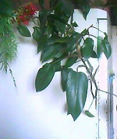 Отдается в дар Цветок лиана (филодендрон краснеющий)