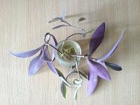Отдается в дар Отросточки сеткрезии пурпурной