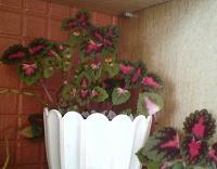 Отдается в дар Многолетнее растение колеус