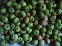 Отдается в дар Яблоки падалица, для животных