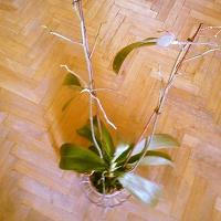 Отдается в дар Орхидея в горшке
