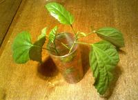 Отдается в дар Отросточек домашней розы (гибискус)