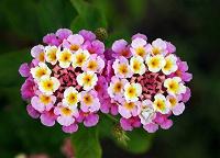 Отдается в дар Лантана — красивое растение