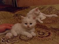 Отдается в дар Котята беленькие и пушистенькие от домашней кошки и кота родились 8 марта