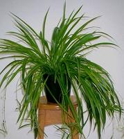 Отдается в дар растений отростки