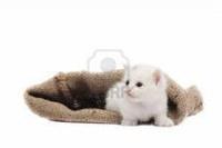 Отдается в дар Косметический котенок.