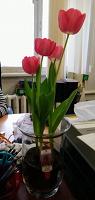 Отдается в дар Луковицы тюльпанов