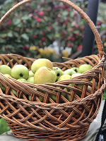 Отдается в дар Ароматные яблоки — антоновка — дар будет пополняться