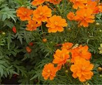 Отдается в дар Космея оранжевая. Семена.