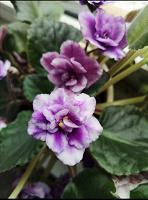 Отдается в дар Цветы, кактусы (эхинопсис, маммиллярия)