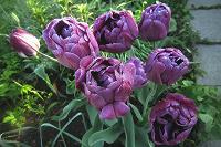 Отдается в дар Махровые, фиолетово-сиреневые тюльпаны.