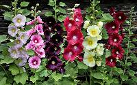 Отдается в дар Семена цветов Мальвы и Гелиопсиса