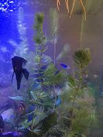Отдается в дар Растение аквариумное роголистник