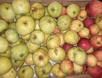 Отдается в дар Дачные яблоки-4