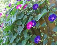 Отдается в дар Вьющийся цветочек.
