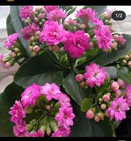 Отдается в дар Каланхоэ цветущее сегодня на ОВ!!!