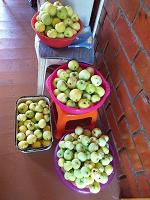 Отдается в дар Яблочки «Белый налив»