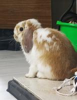 Отдается в дар Кролик декоративный.