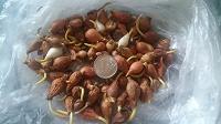 Отдается в дар Луковички тюльпанов