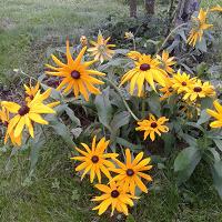 Отдается в дар Рудбекия желтый высокий садовый цветок
