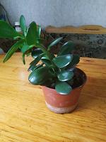 Отдается в дар Растение красула- Денежное дерево.