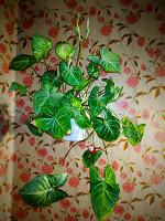 Отдается в дар цветок с горшком