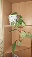 Отдается в дар Комнатное растение Тидея фиолетовая