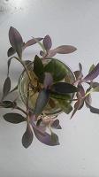 Отдается в дар Традесканция пурпурная