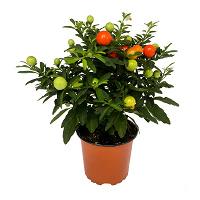 Отдается в дар Отростки растения.