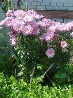 Отдается в дар Кустик розовых хризантем