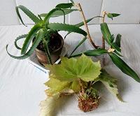 Отдается в дар Растения комнатные: Алоэ, Бегония, Драцена
