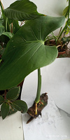 Отдается в дар Комнатное растение Монстера