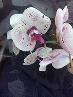 Отдается в дар Отростки орхидеи