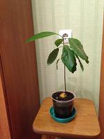 Отдается в дар авокадо
