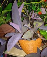 Отдается в дар Отросток сеткреазии или традесканции фиолетовой