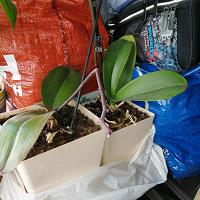 Отдается в дар Две орхидеи