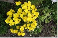 Отдается в дар Корешки садовых цветов