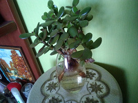 Отдается в дар Денежное дерево (толстянка). Отростки.