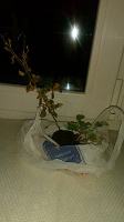 Отдается в дар Отростки хризантемы малиновой
