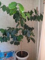 Отдается в дар Кофейное дерево