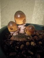 Отдается в дар Декоративные грибы в цветочный горшок