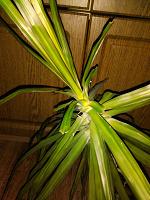 Отдается в дар Отросток винтовой пальмы