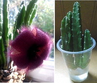 Отдается в дар Комнатный цветок Стапелия.