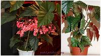 Отдается в дар Бегония Бисмарка (Begonia Bismarckii veitch)