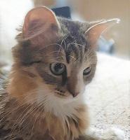 Отдается в дар Кошка Ариша ~11 мес., стерилизованная, привитая
