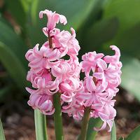 Отдается в дар Розовый гиацинт