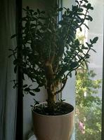 Отдается в дар Черенки денежное дерево