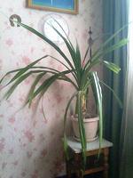 Отдается в дар Растение комнатное